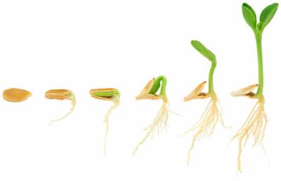semilla-germinada