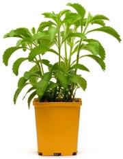 Planta de Stevia en una maceta