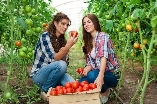 Dos mujeres cosechando tomates